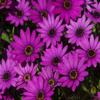 Puzzle - Africké květy