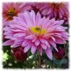 Puzzle: Růžová květina…