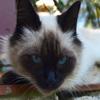 Puzzle - Siamské kotě