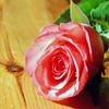 Puzzle - Růže