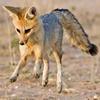 Puzzle - Malý kojot